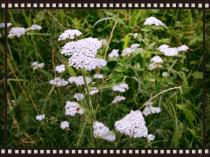 Die Schafgarbe ist eine beliebte klassische Heilpflanze, die für die Verdauungsorgane und Frauenleiden eingesetzt werden kann.